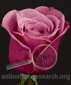 Rose Purple Fragrance