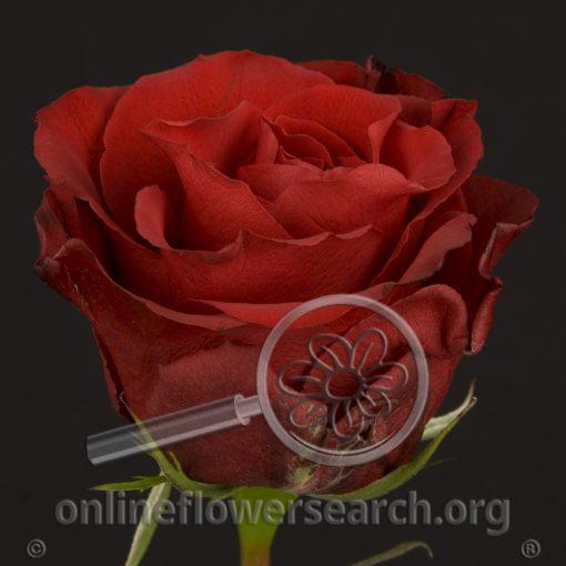Rose Red Diamond