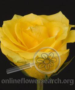 Rose Tara