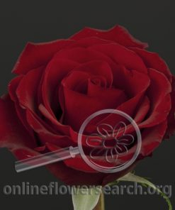 Rose Tinto