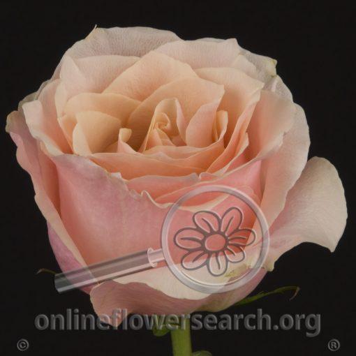 Rose Trust