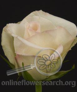 Rose Porcelina