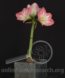 Amaryllis Plant Pink/White