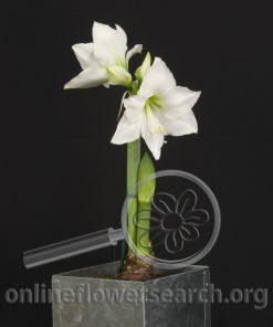 Amaryllis Plant White