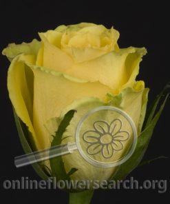 Rose Idole (aka Elle)