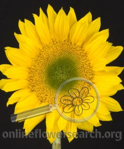 Sunflower Sunbeam (small)