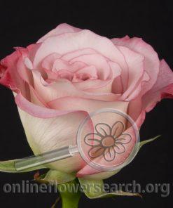 Rose Pink Farfalla