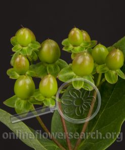 Hypericum Coffee (Ivy) Flair