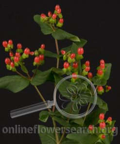 Hypericum Magical Passion