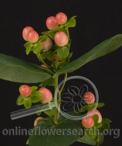 Hypericum Magical Light Pink