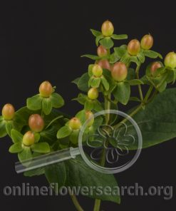 Hypericum Magical Orange