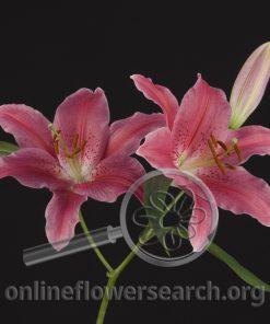 Lily Oriental Halifax
