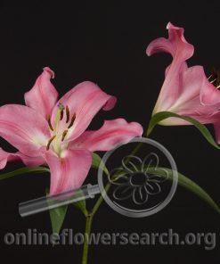 Lily Oriental Robina