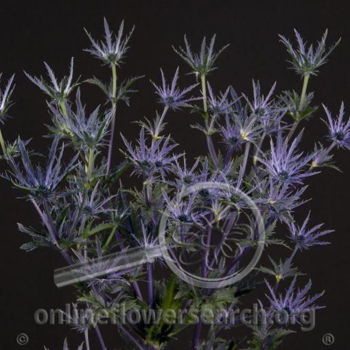 Thistle Eryngium Blue Bell