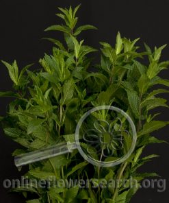 Mint (Mountain Mint)