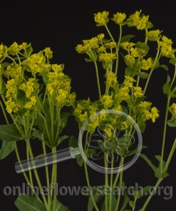 Euphorbia Yellow Spurge