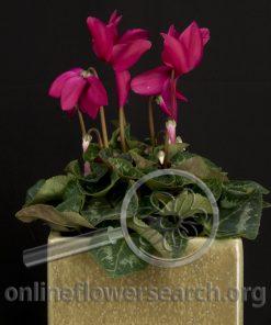 Cyclamen Fuchsia
