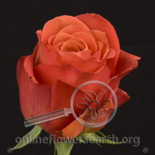 Rose Alhambra