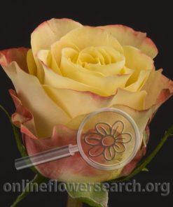 Rose Exotic Curiosa