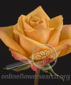 Rose Amber