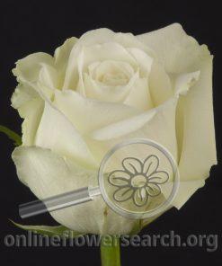 Rose White Dove
