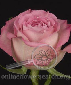 Rose Loyalty