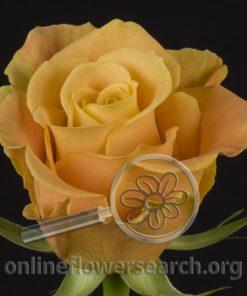 Rose Kiki