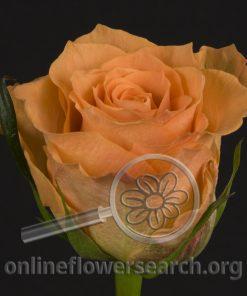 Rose Colandro