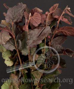 Corylus Avellana Foliage