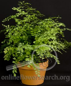 Maidenhair Fern Potted