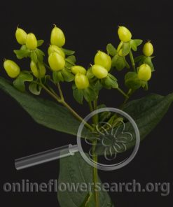 Hypericum Magical Gold
