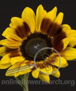 Sunflower Mahogany