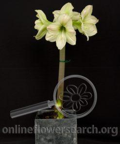 Amaryllis Plant Green