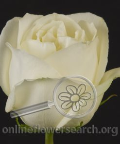 Rose White Angel