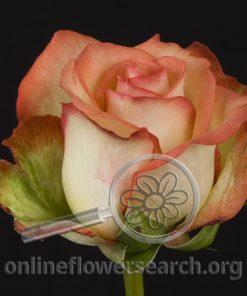 Rose Boheme