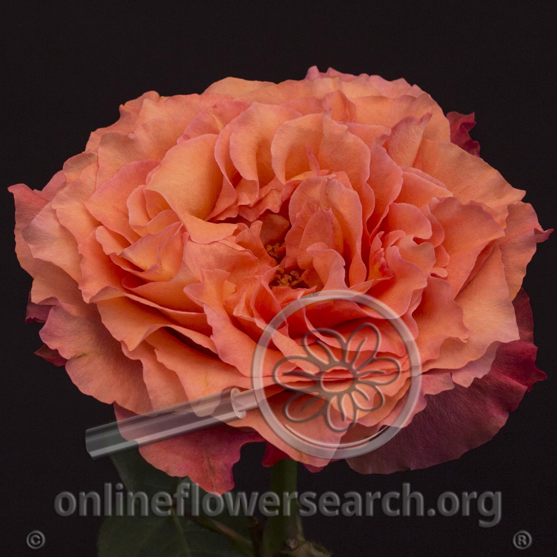 Rose Free Spirit Online Flower Search