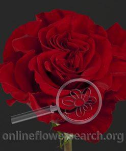 Rose Hearts (aka Wanted)