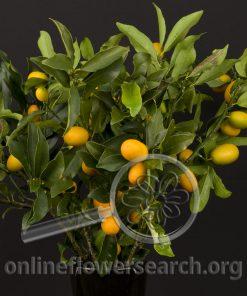 Kumquad (Citrus)