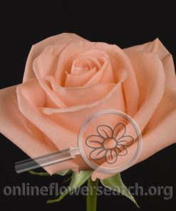 Rose Marilena