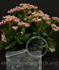 Kalanchoe Potted