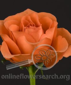 Rose Terra Nostra