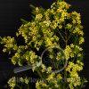 Waxflower Yellow