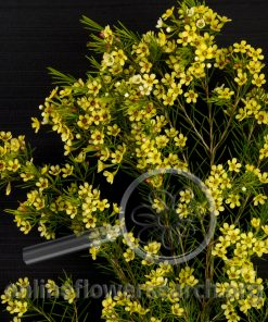 Waxflower Yellow