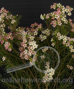 Waxflower Bicolor