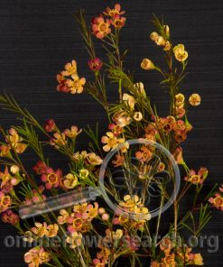 Waxflower Orange