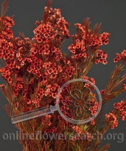 Waxflower Red