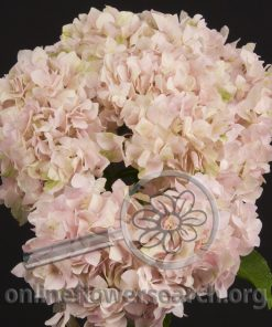Hydrangea Light Pink - Large
