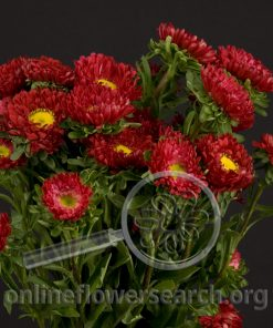 Aster Japanese Red