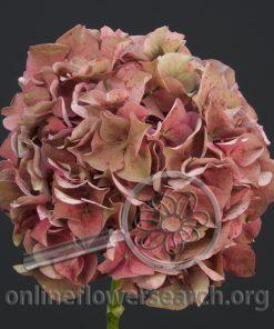 Hydrangea Antique Pink