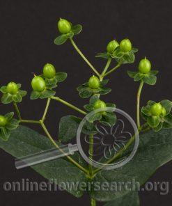 Hypericum Green Desire